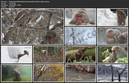 Japonya'nın Vahşi Doğası: Kar Maymunları