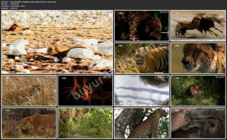 Büyük Kedilerin Saldırıları: Aslan, Kaplan, Leopar ve Jaguar